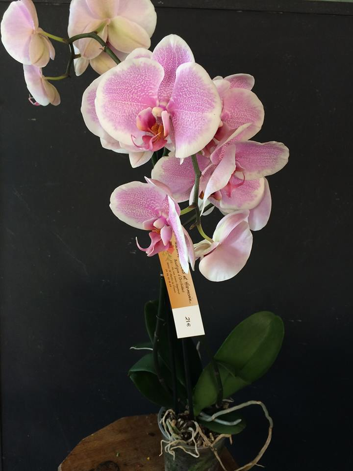 orchid e phalaenopsis 2 tiges boutique. Black Bedroom Furniture Sets. Home Design Ideas