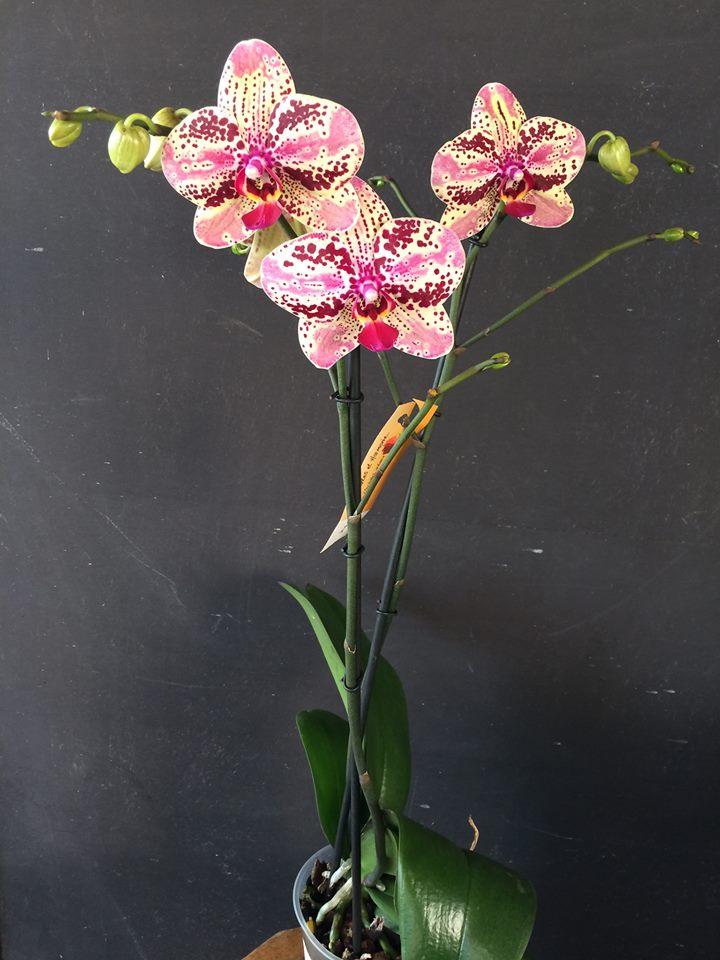 orchid e phalaenopsis 2 tiges boutique www. Black Bedroom Furniture Sets. Home Design Ideas